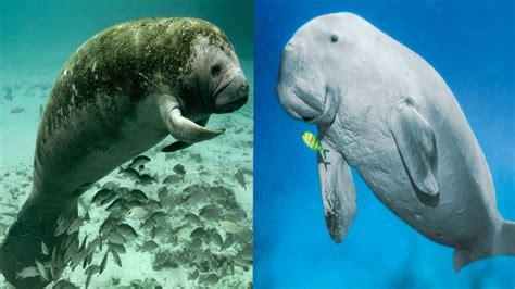Manatee & Dugong