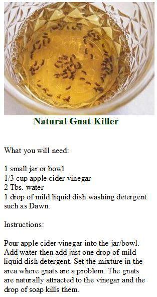 diy gnat trap ideas  pinterest