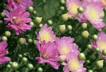 Flowers Mums Plants Garden Gardenbanter