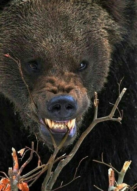 angry grizzly bear bear pictures bear dog angry animals