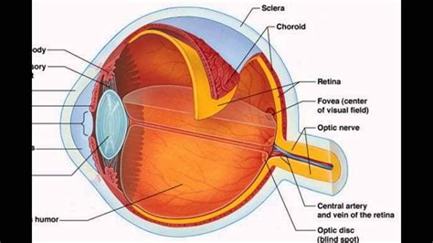 eye muscle diagram unlabeled world  reference