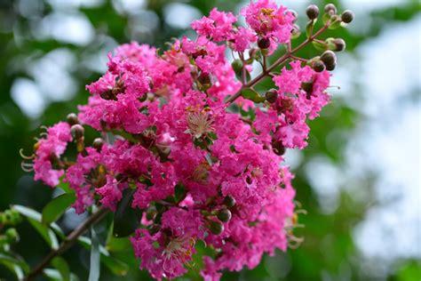 arbusti dai fiori rosei lagerstroemia graziosi arbusti dai bellissimi fiori