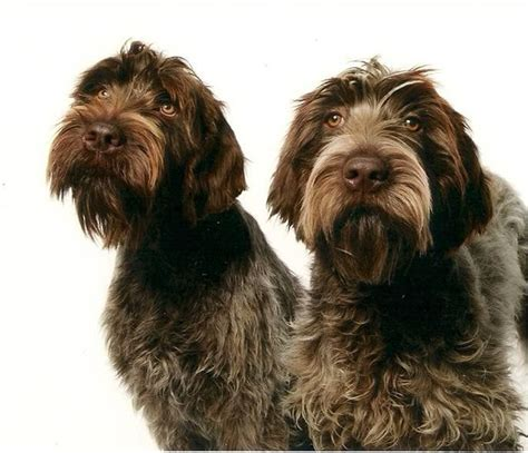 german wirehaired pointing griffon shedding best 25 wirehaired pointing griffon ideas on