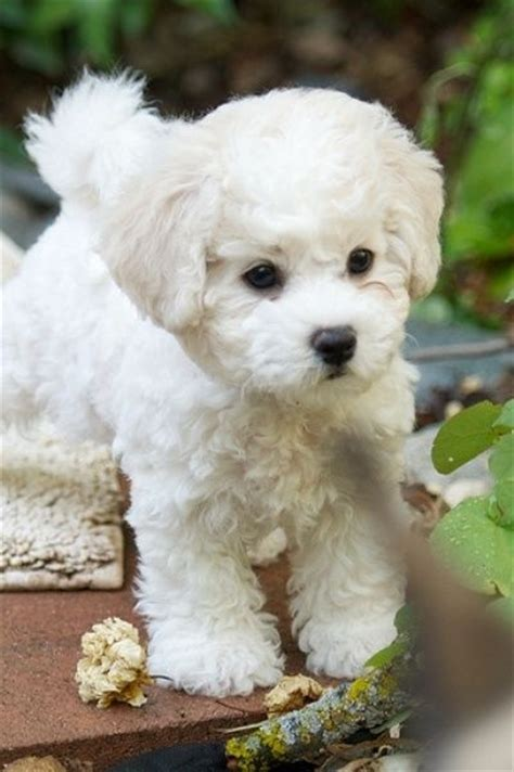Do Bichons Shed Hair by 80 Best Dogs That Don T Shed Images On