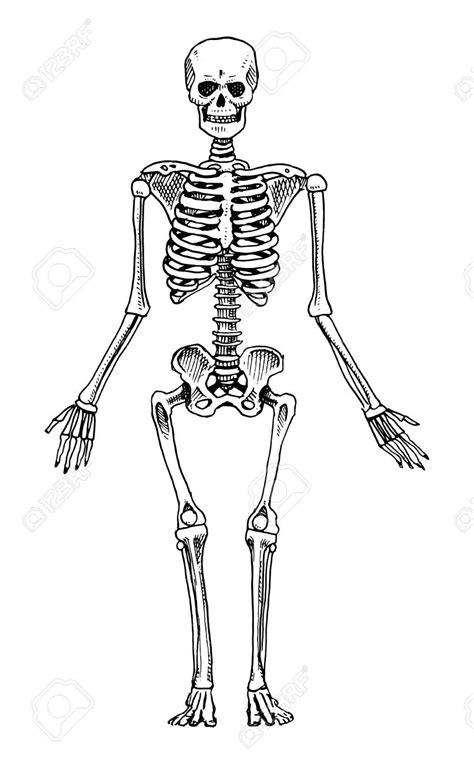 skeleton clipart clipart skeleton bone structure graphics illustrations