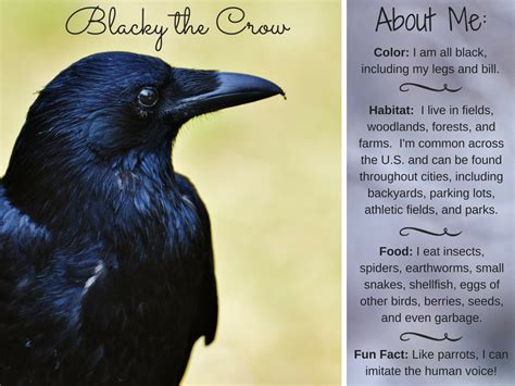 blacky the crow american crow facts activities books