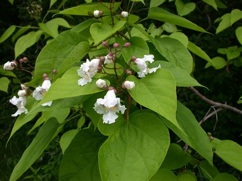 tree with big leaves and white flowers what should i be doing with my bees this month catalpa trees