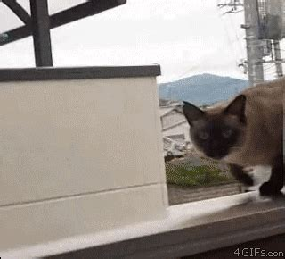 cat gif find share  giphy