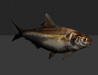 Fish Shad Animated Rig Animation Swimming Fbx