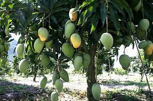 Functioning and Role Of Stomata In Mango (Mangifera indica ...