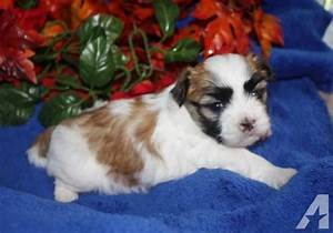 Malshi (Maltese- Shih Tzu) male brown and white for Sale ...