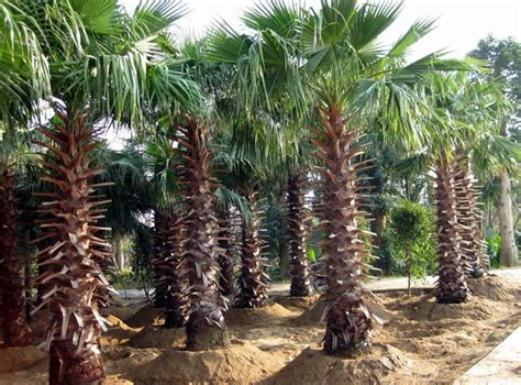 planting fan palm trees washingtonia filifera seeds california fan palm zhong