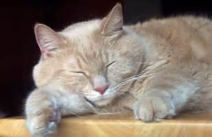 sleeping cat sleeping cat free stock photo domain pictures