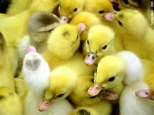 Cute Baby Animals Ducks
