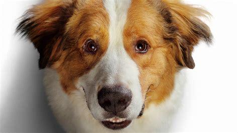 golden retriever   dogs journey  wallpapers hd