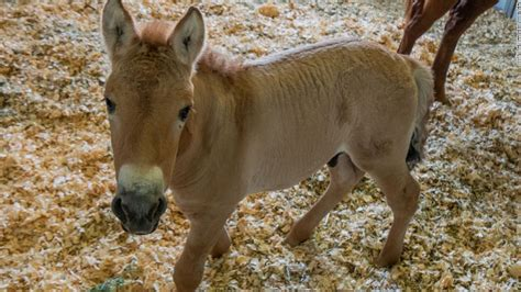 horse cloned animal przewalski cnn endangered clone preserve colt super