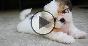 Cute Little Shih Tzu Puppies