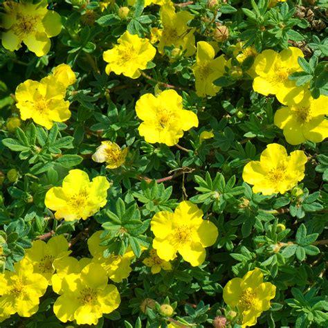 Potentilla fruticosa 'Yellow Bird' Parastā klinšrozīte ...