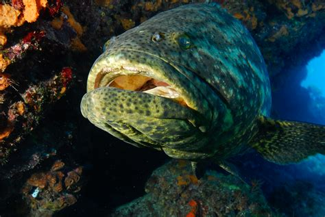 grouper shark giant fish eat eats sharks meal national fishing aquariums slurps typical why don down
