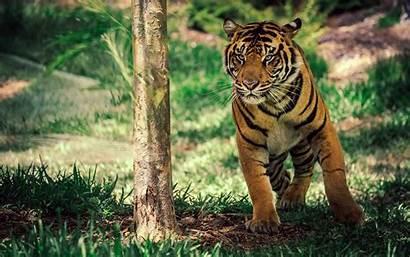 Wildlife Tiger Savanna Wallpapers 1800 1280 2880
