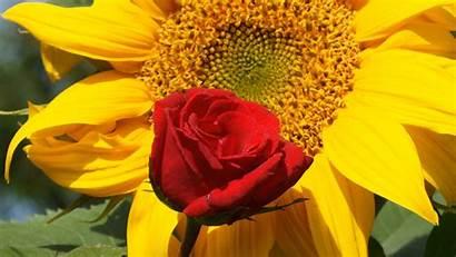Rose Roses Sunflower Wonderful Widescreen Konstantinos Kyriakou