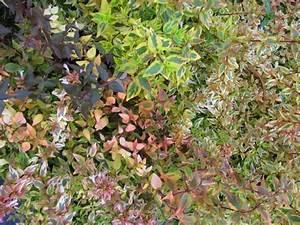 Abelia Grandiflora Kaleidoscope : abelia x grandiflora kaleidoscope pp 16988 ~ Melissatoandfro.com Idées de Décoration