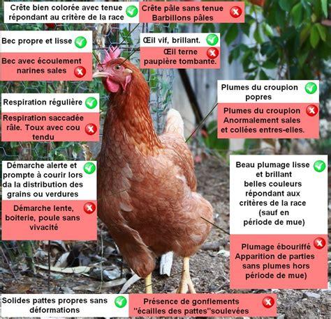 comment cuisiner une poule comment reconnaitre une poule malade poulailler bio