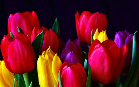 Hd Tulip Background by 1026 Tulip Hd Wallpapers Background Images Wallpaper Abyss