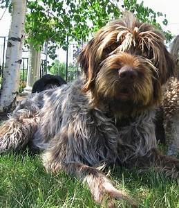 Wirehaired Pointing Griffon Info, Temperament, Puppies ...