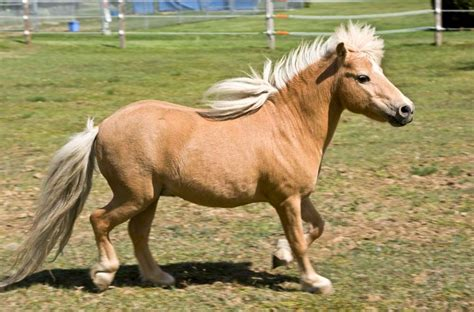 horse miniature smallest breeds horses breed popular hooves very delivers standing its