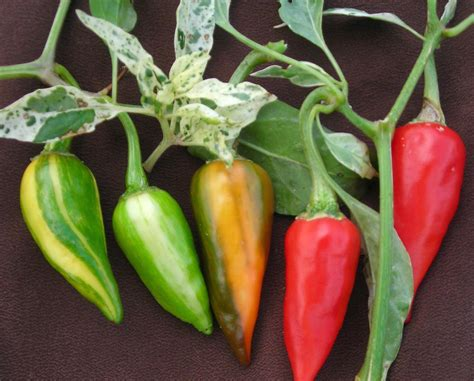 fish hot pepper   southern exposure seed exchange