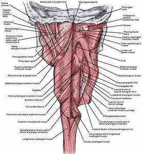 Throat Anatomy -  2019