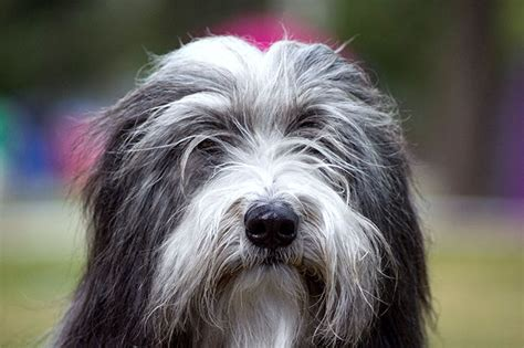 bearded collie dog breed information pictures characteristics facts dogtime
