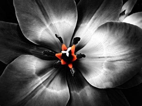 Black-and-white-flower-with-hint-of-color