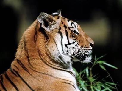 Tigres Fondos Wallpapers Tigre Escritorio Tiger Blogodisea