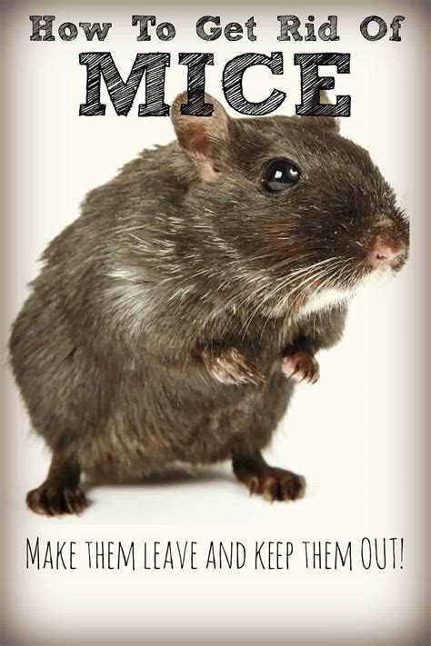 how to get rid of mice in house get rid of mice naturally and keep them away