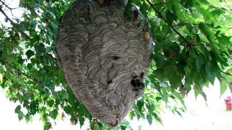 wasps   nests referencecom