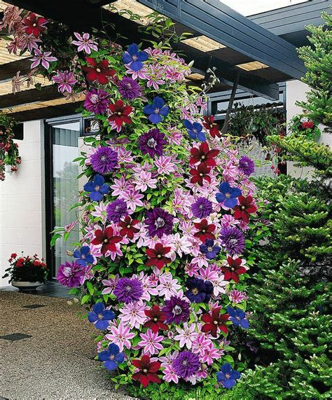 Clematis Mixed Colors Wonderful Large Blooms 20