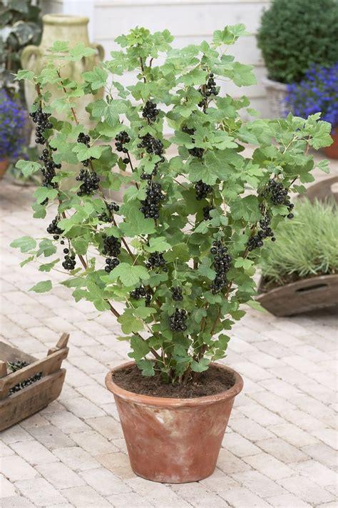 Garten Johannisbeeren Pflanzen by Schwarze Johannisbeere Richtig Schneiden Pflanzen Tipps