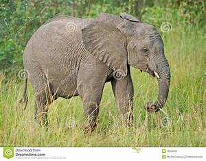 Juvenile African Elephant In The Wild Stock Photo - Image ...