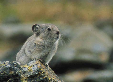 Pika Animal Wildlife