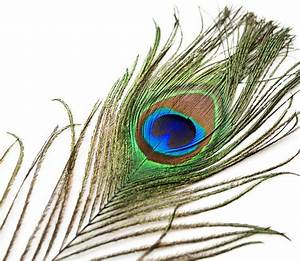 Peacock Tail Eye Feathers 8-12""