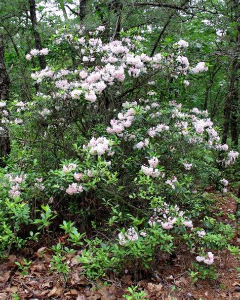 pictures of mountain laurel shrubs pine barrens shrubs mountain laurel pinelands preservation alliance