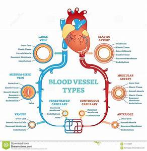 Blood Vessel Types Anatomical Diagram  Medical Scheme