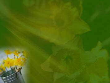 daffodil  powerpoint templates