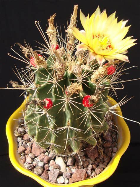 Thelocactus setispinus (Miniature Barrel Cactus) | World ...