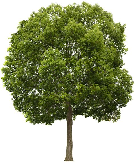 Tree Wallpaper Png by Tree Png Images Free Icons And Png Backgrounds