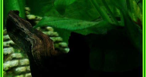 bienvenue dans notre aquarium quot malais quot quot melanoide quot joli petit escargot