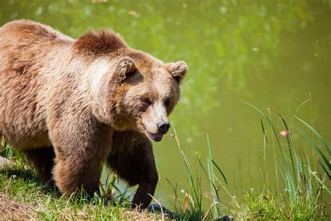 animal bear cute furry grass grizzly bear nature