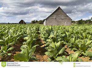 Tobacco farming on Cuba stock photo. Image of countryside ...